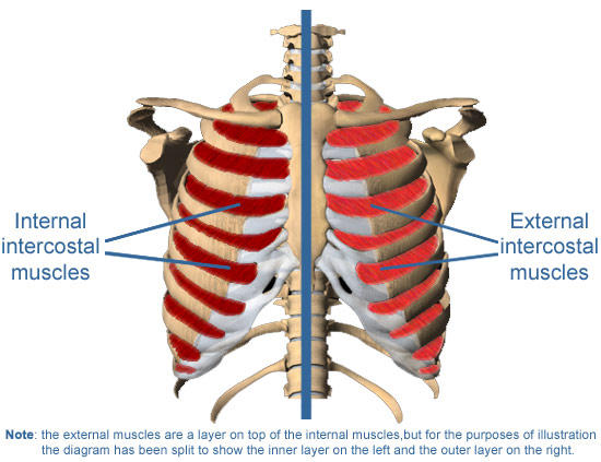 intercostal muscles | medguidance, Human body