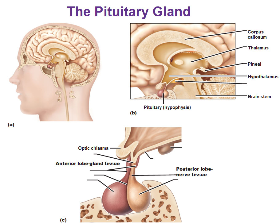 Short Speech On Pituitary Gland