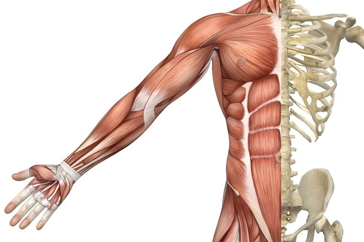 7 Important Muscular System Functions | MedGuidance